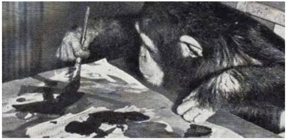 Коллекция из 55 картин шимпанзе Конго будет выставлена на аукцион в Лондоне в декабре. Стоимость каждого из них варьируется от 1 850 до 7400
